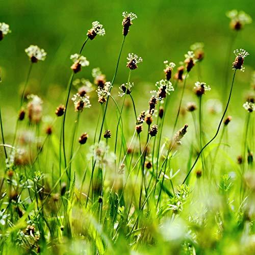 Outsidepride English Plantain Herb...