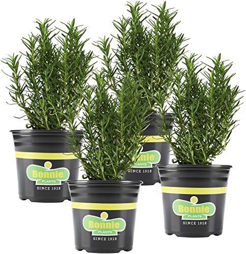 Bonnie Plants 4P5090 Rosemary Live...
