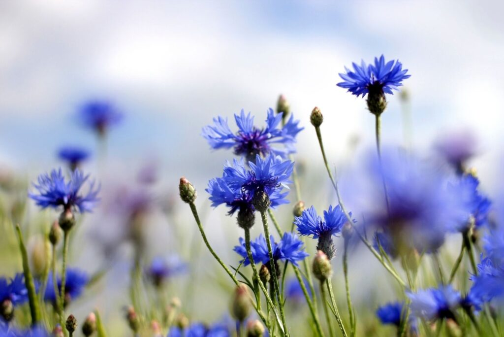 9 Natural Treatments for Conjunctivitis - Cornflowers