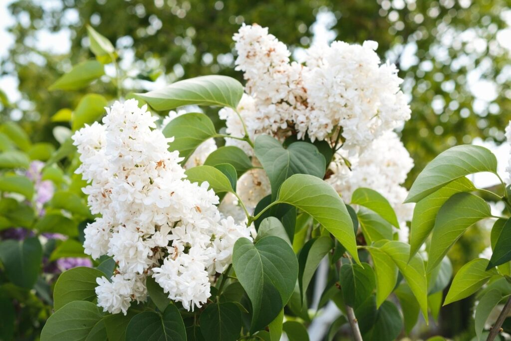 20 Natural Treatments for Burns - White Lilac Flowers and Leaves