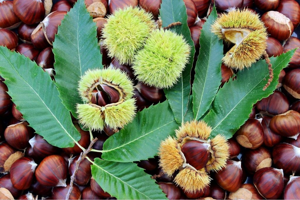 10 Natural Treatments for Hemorrhoids - Chestnuts