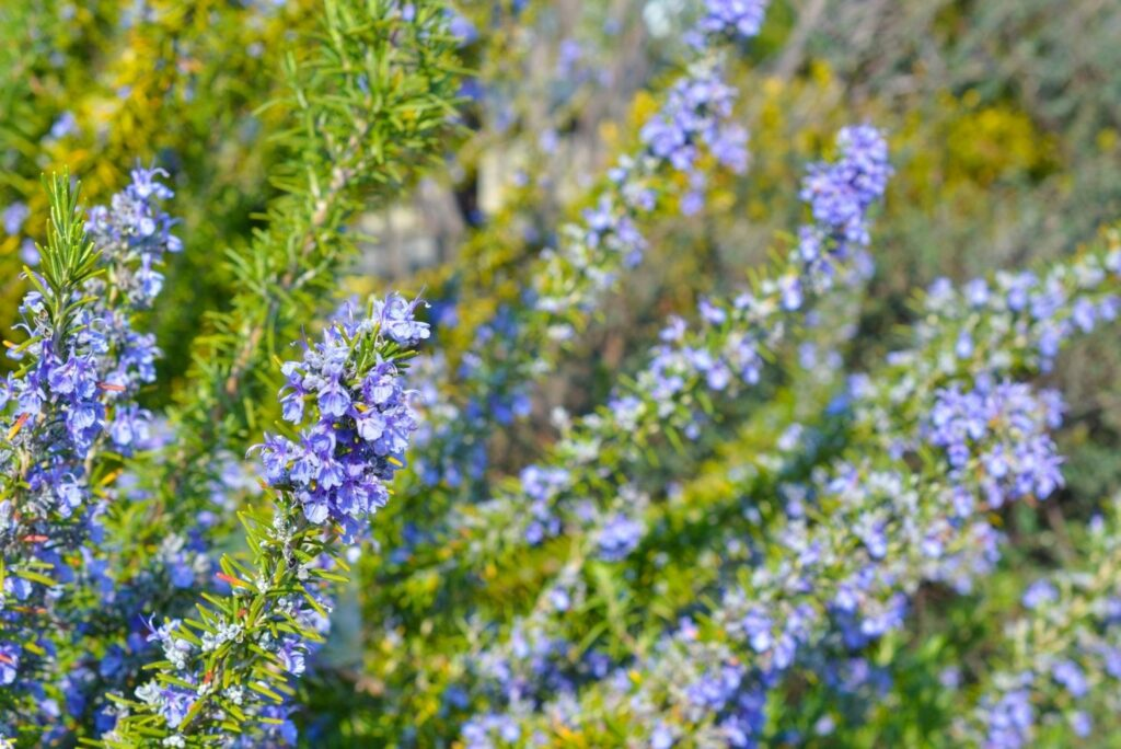 12 Natural Treatments for High Cholesterol Rosemary Flowers