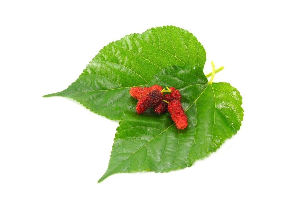 7 Natural Remedies for Diabetes - Mulberry leaves