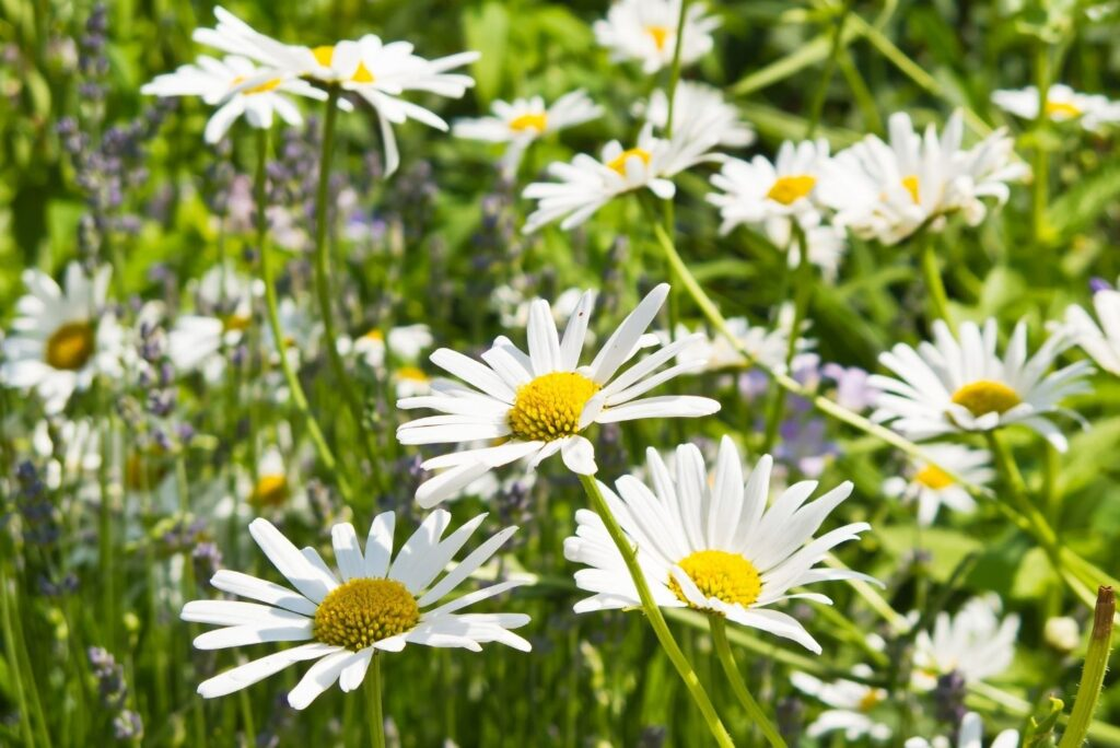 Effective Natural Lung Cleansing Treatment - Oxeye Daisy