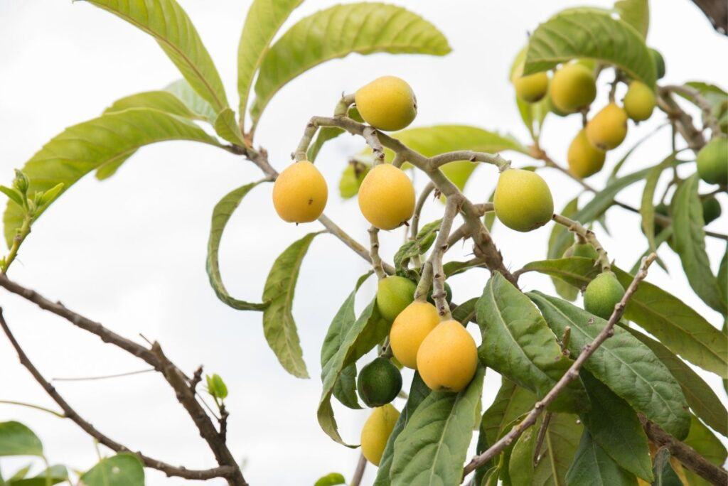 4 Natural Remedies for Constipation - Common Medlar Berries
