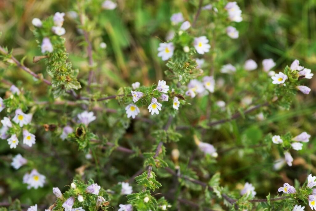 Natural Remedy for Tired Eyes - Eyebright