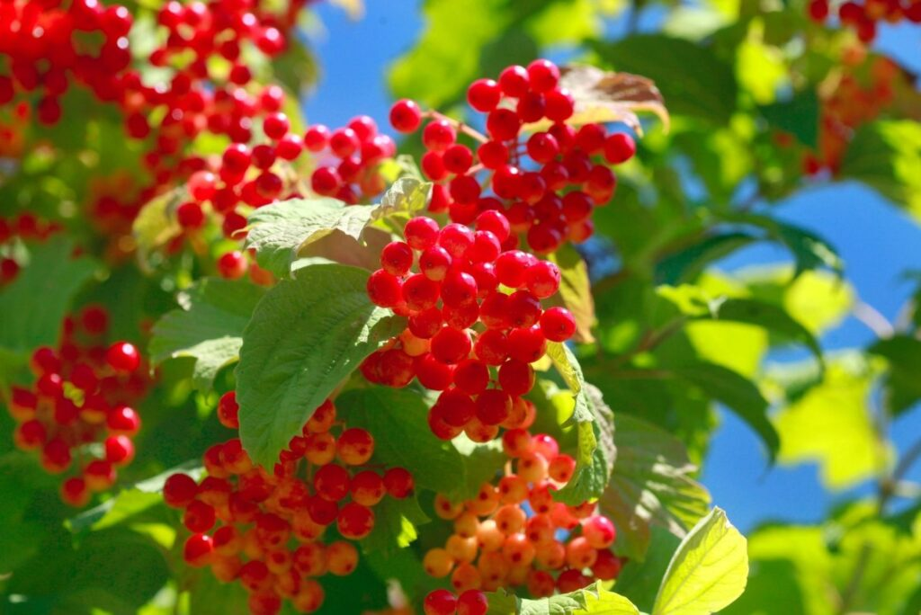 10 Home Remedies for High Blood Pressure - Guelder Rose Berries