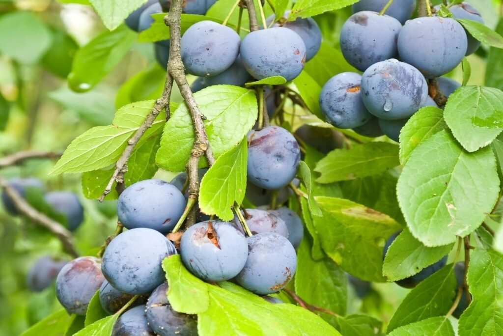10 Natural Remedies for Diarrhea - Sloe - Blackthorn berries