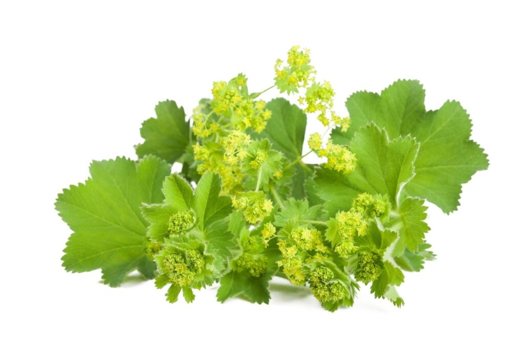 3 Natural Treatments for Nephrocalcinosis -  Lady's Mantle