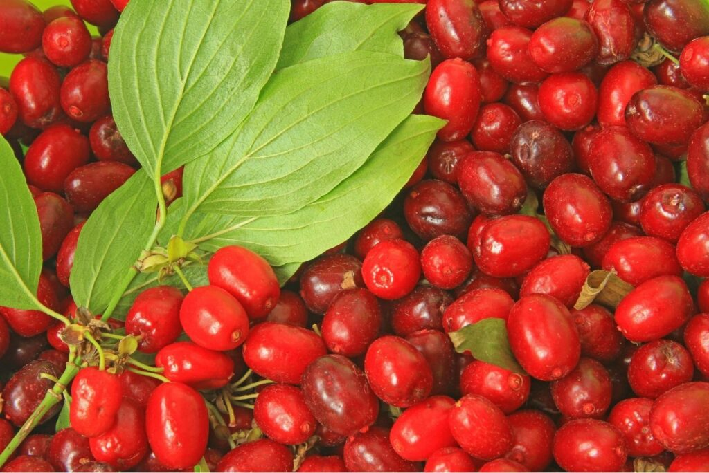 Natural Treatment for Myopia with Dogweed - Cornelian Cherry