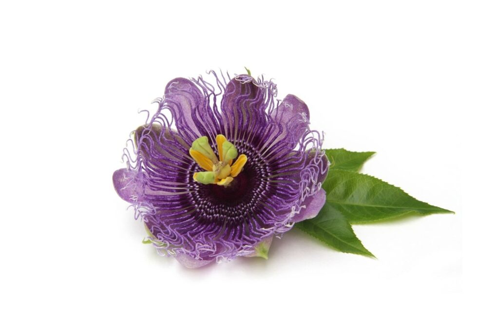 Natural Remedy for Fatigue – Passionflower