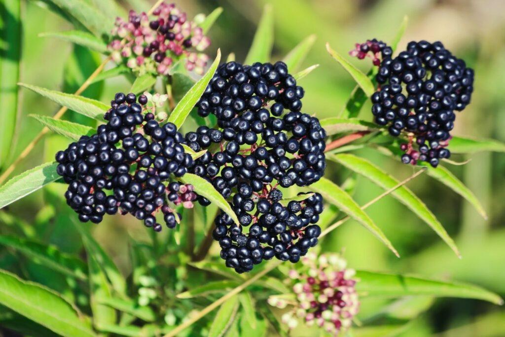 Natural Remedy for Pyoderma - danewort dwarf elder