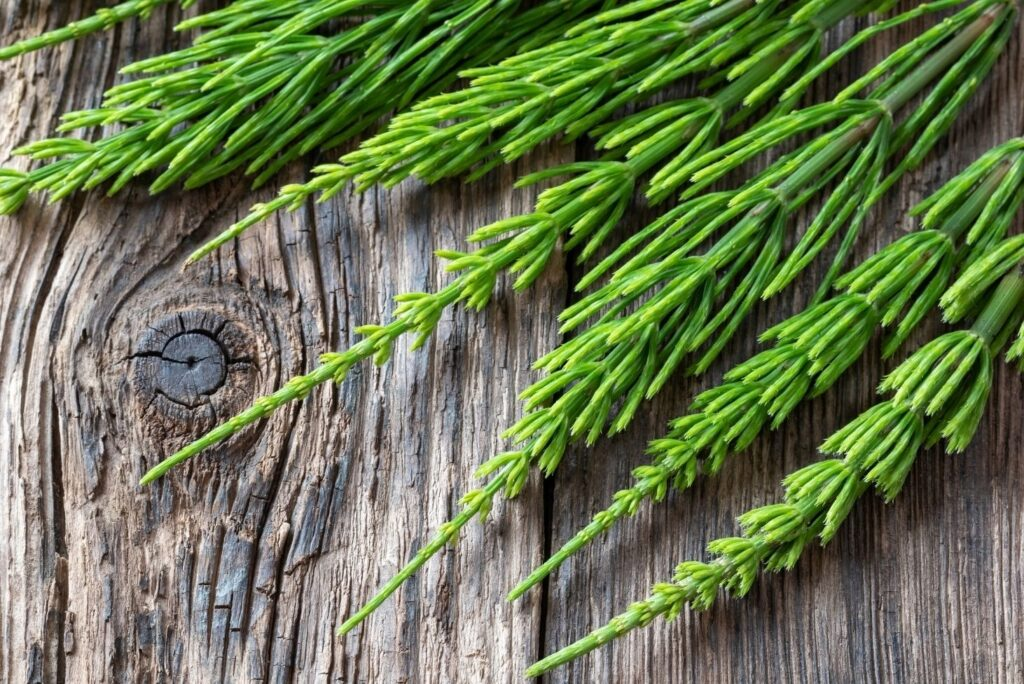 Horsetail Remedy for Swollen Axillary Lymph Nodes - Horsetail
