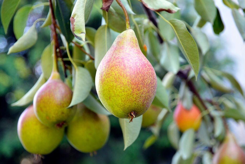 10 Herbal Remedies that Heal Psoriasis - Pear Tree Leaves