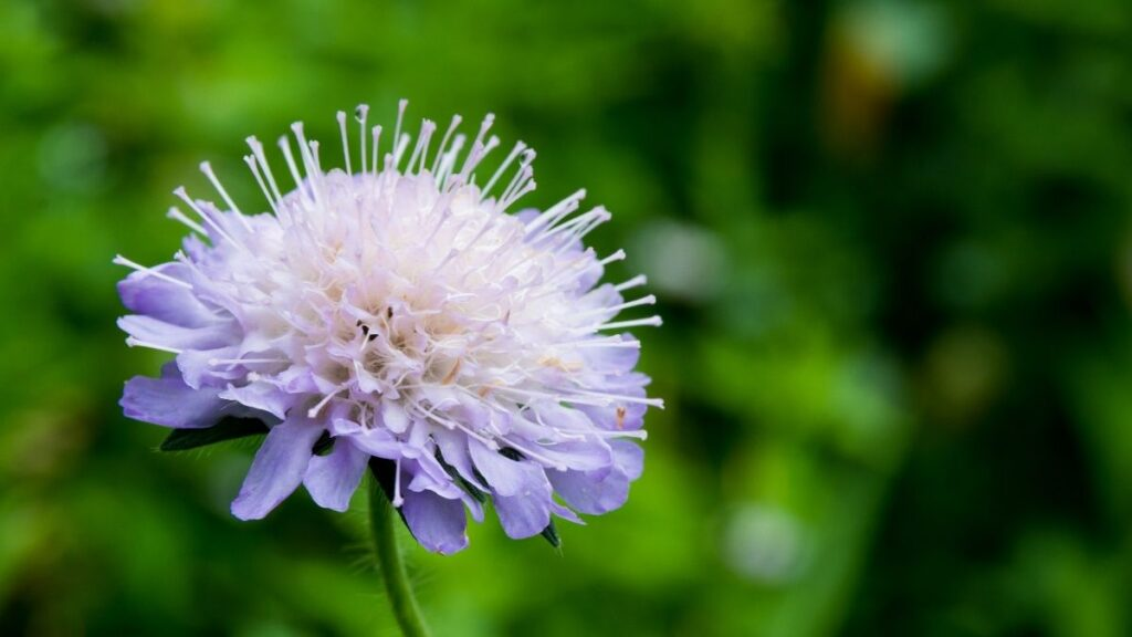 Natural Treatments for Pulmonary Conditions - Devil's Bit Scabious