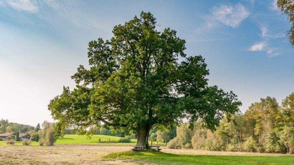 20 Health Benefits of Oak Leaves | Oak Tree Uses & Remedies