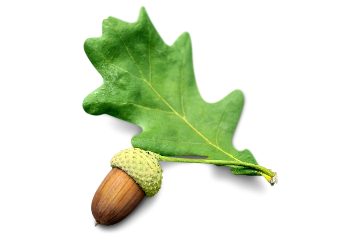 Health Benefits of The Oak Tree | Uses and Remedies