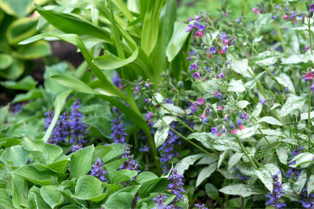 lungwort natural remedies lungwort uses