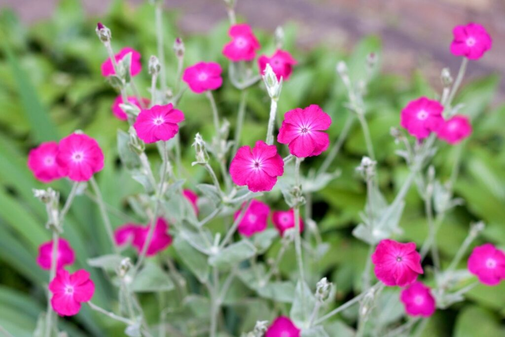 Home Remedy for Thrombosed Internal Hemorrhoids - Silene coronaria