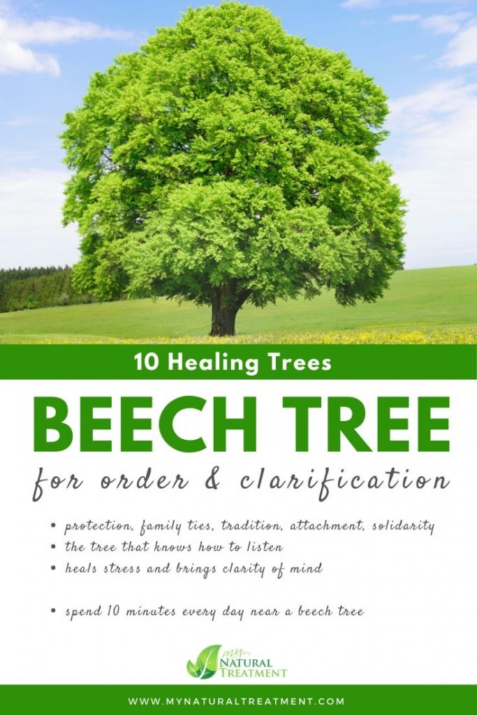 Beech Tree Healing - What Beech Tree is Good For #beech #treehealing