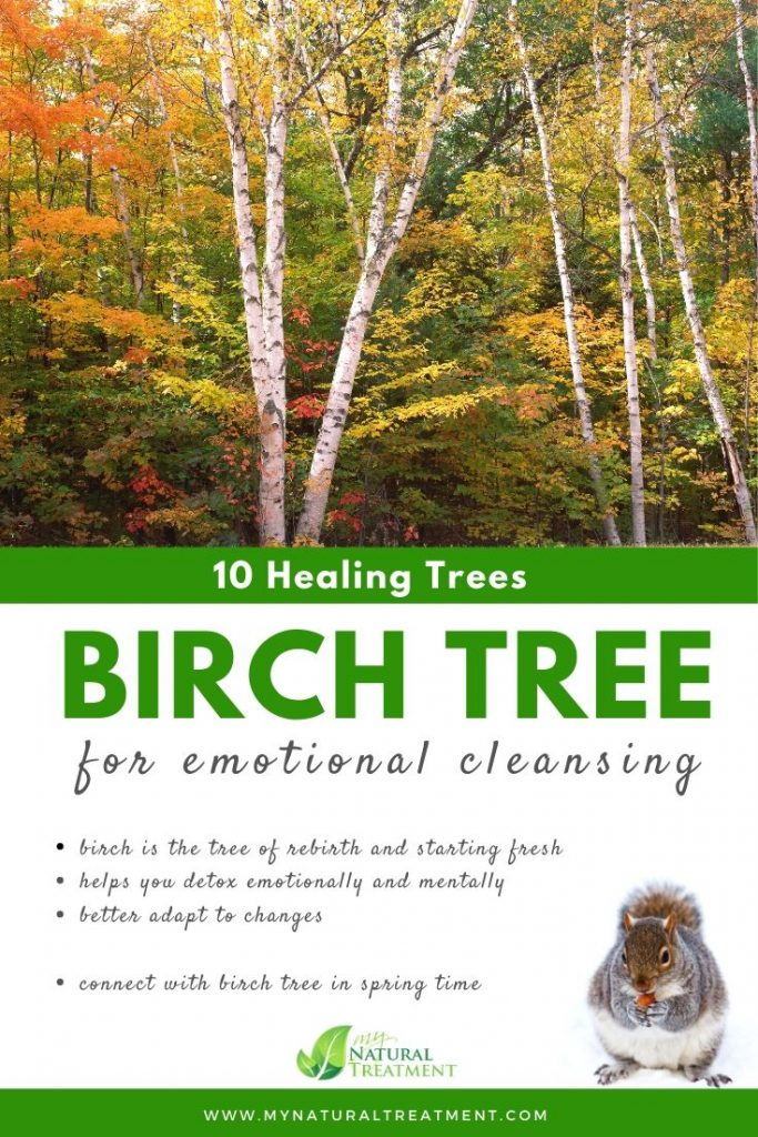 Birch Tree Healing - What Birch Tree is Good For #birchtree #treehealing