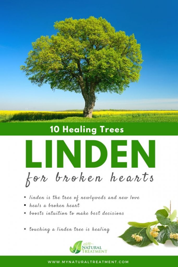 Linden Tree Healing - What Linden Tree is Good For #lindentree #treehealing