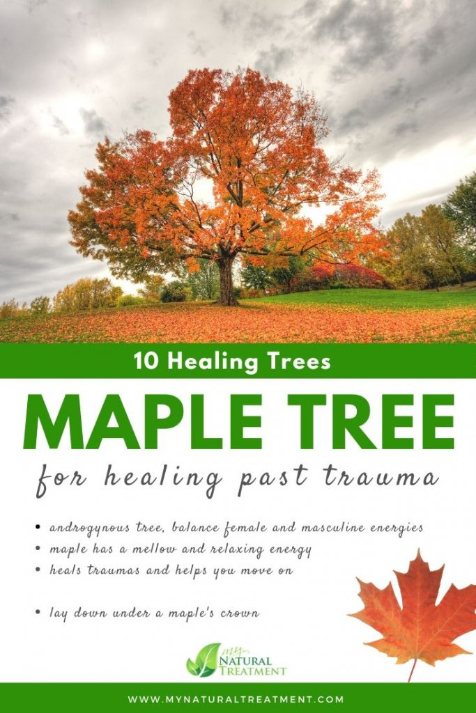 Maple Tree Healing - What Maple Tree is Good For #mapletree #treehealing