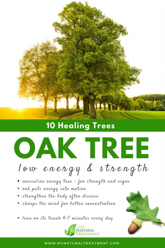 Oak Tree Healing - What Oak Tree is Good For #oak #treehealing