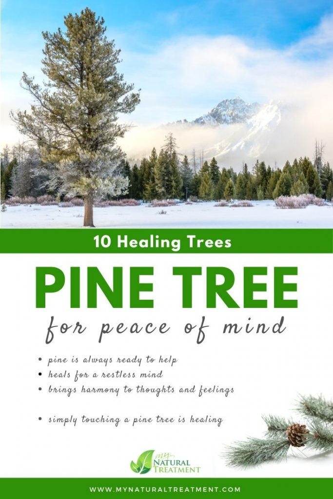 Pine Tree Healing - What Pine Tree is Good For #pinetree #treehealing