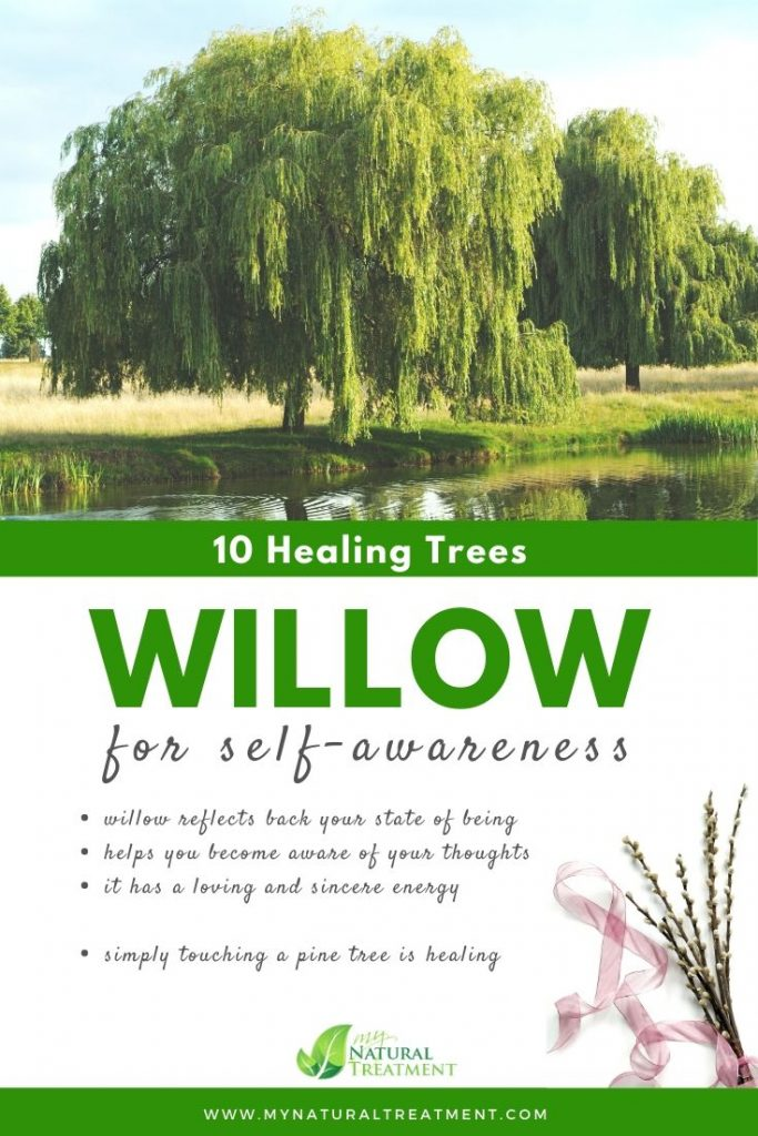 Willow Tree Healing - What Willow Tree is Good For #willowtree #treehealing