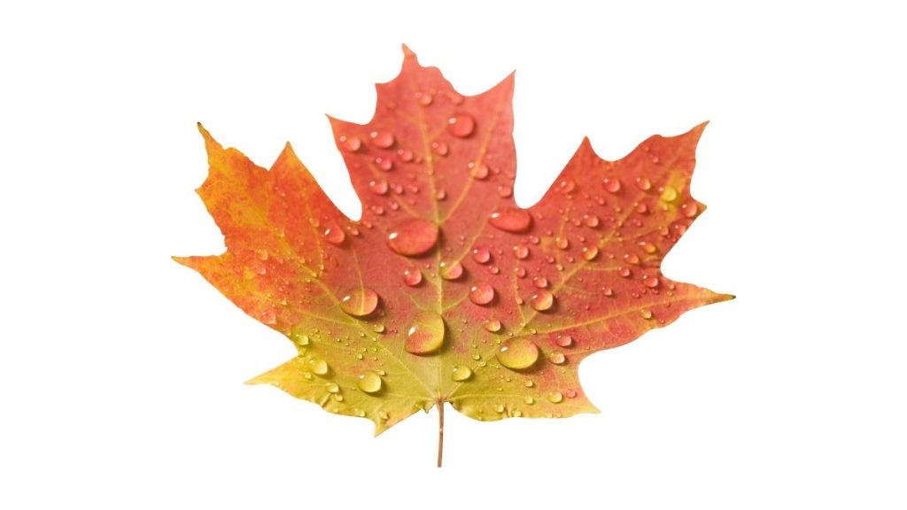 Maple Tree Uses, Benefits and Home Remedies