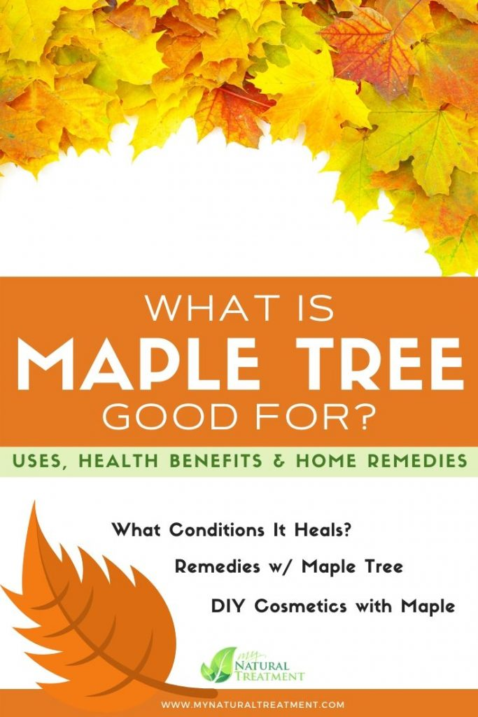Most important maple tree uses for health and conditions - home remedies