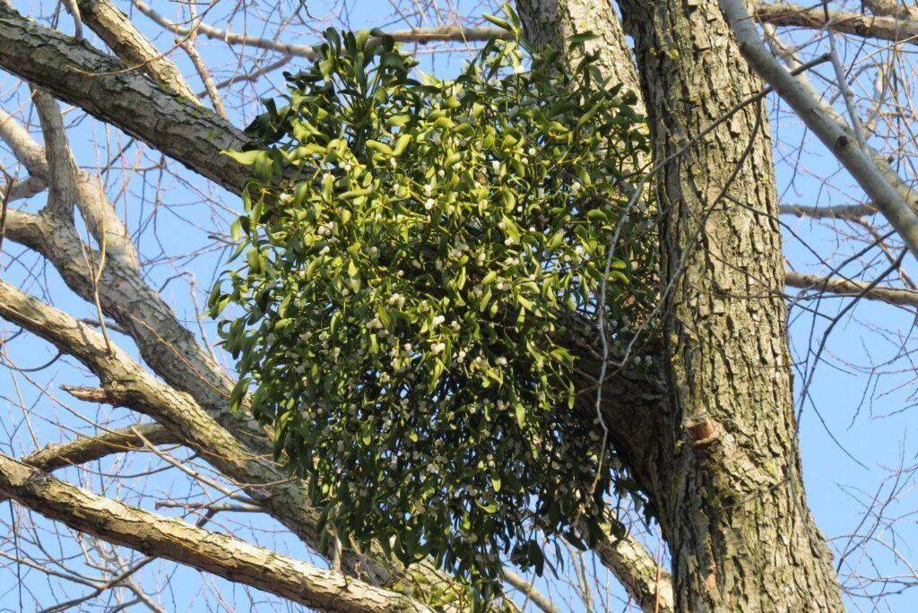 What Is Mistletoe Good For? 11 Mistletoe Uses, Health Benefits & Home Remedies - Mistletoe Plant