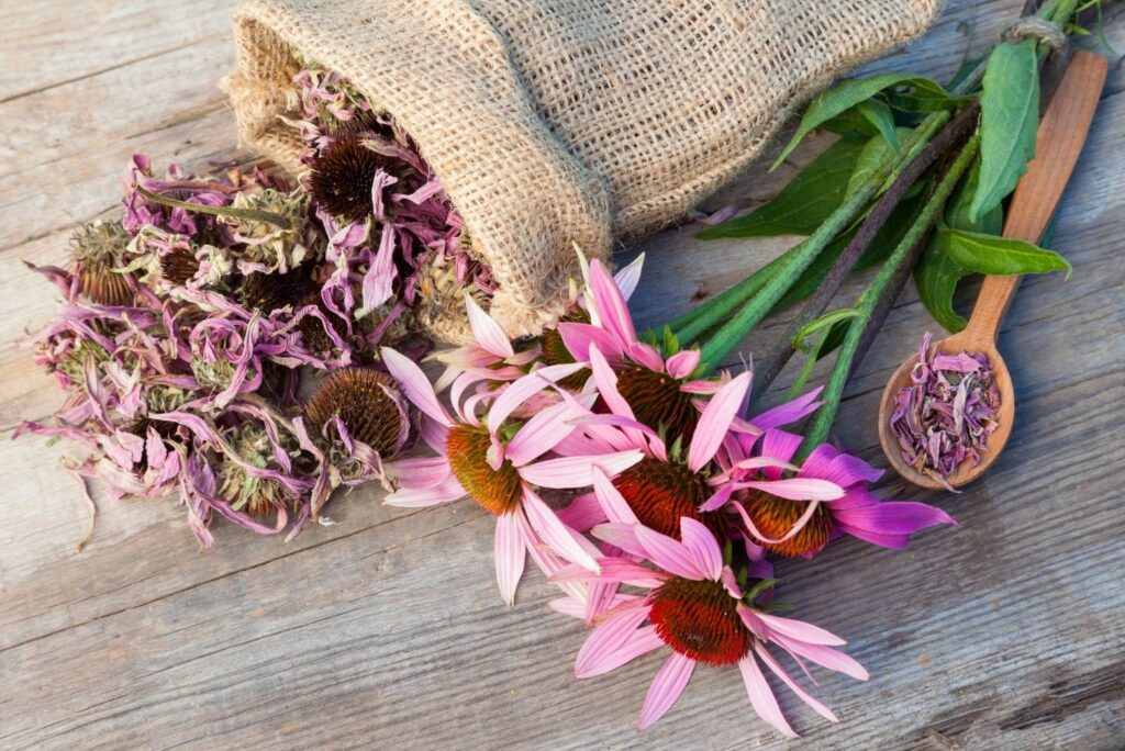 5 Best Herbs for Viral Lung Infections and How to Use Them - Echinacea