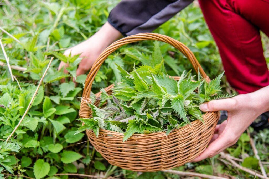Harvest Stinging Nettle Health Benefits, Uses & Home Remedies - MyNaturalTreatment.com