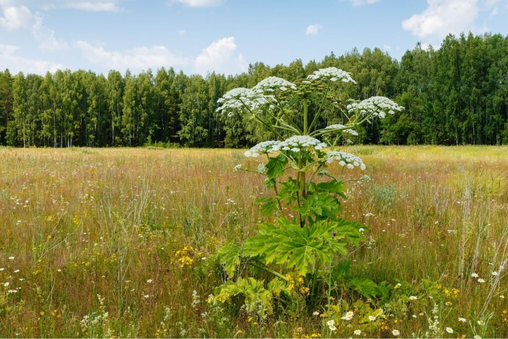 9 Powerful Home Remedies for Frostbite & Natural Prevention - Cow Parsnip