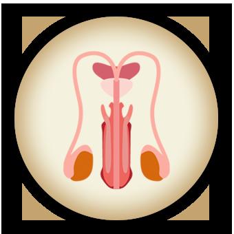 male reproductive organ mynaturaltreatment.com