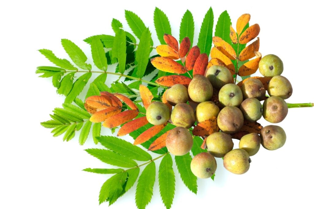10 Old Russian Home Remedies for Alcohol Addiction - Sorbus domestica