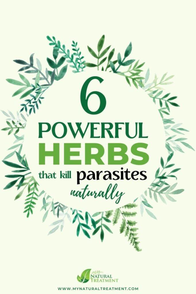 6 powerful herbs that kill parasites naturally - MYN