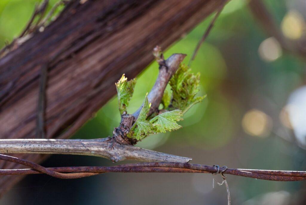 3 Health Uses of Vine Sap - MyNaturalTreatment.com