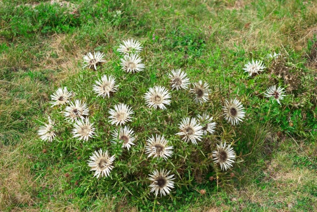 10 Best Natural Remedies for Staphylococcus Infection -Silver Thistle- Carlina acaulis - MYN
